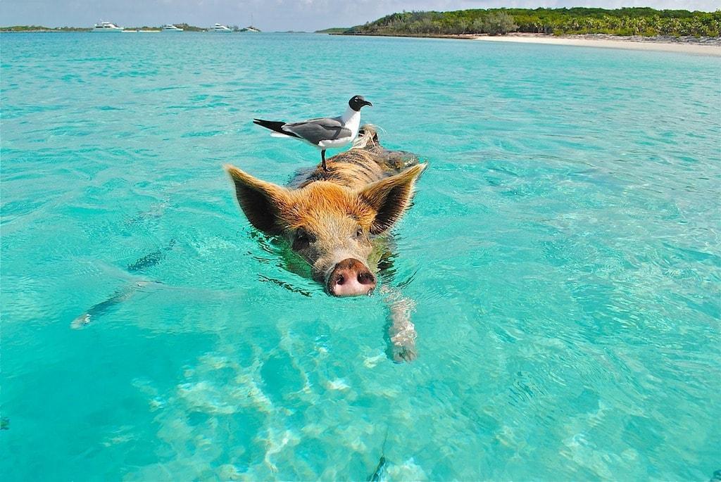 Schwimmen mit Schweinen auf den Bahamas